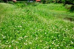 Spanish needle flower or Bidens pilosa flowers Stock Photography