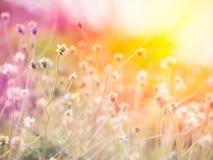 Spanish needle flowers. Royalty Free Stock Image