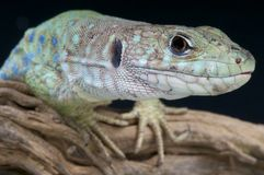Spanish occelated lizard / Timon nevadensis Stock Photos