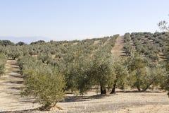 Spanish Olive field Stock Image