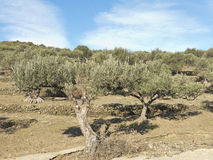 Spanish olive trees. Stock Images
