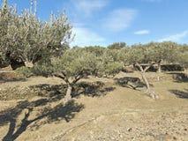 Spanish olive trees. Royalty Free Stock Photo
