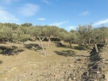 Spanish olive trees. Stock Image