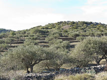 Spanish olive trees. Royalty Free Stock Photography
