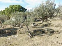 Spanish olive trees. Stock Photos