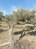 Spanish olive trees. Stock Photography