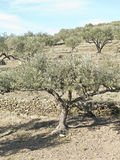 Spanish olive trees. Royalty Free Stock Images