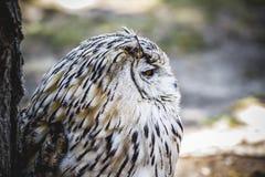 Spanish owl in a medieval fair raptors Stock Image
