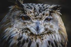 Spanish owl in a medieval fair raptors Stock Photos