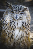 Spanish owl in a medieval fair raptors Royalty Free Stock Photography