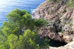 Tossa de Mar, Catalonia, Spain, August 2018. Umbrella pine on a rocky cliff in the background of the sea. royalty free stock photography
