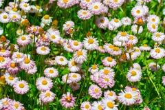 Spanish Pink Daisies Stock Image