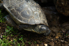 Spanish pond turtle Stock Images
