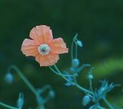 Spanish Poppy Stock Images