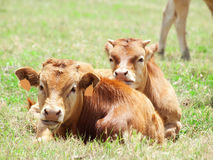 Spanish red  calves laying in pasture Stock Images