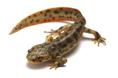 Spanish ribbed newt (Pleurodeles waltl) Stock Photography