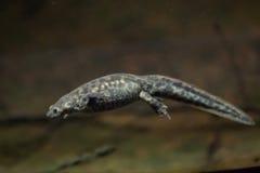 Spanish ribbed newt & x28;Pleurodeles waltl& x29;. Royalty Free Stock Photos