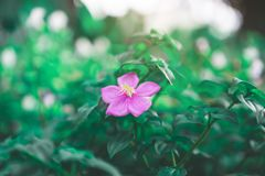 Spanish shawl flowering groundcover plant blooming, Pink petals blossom on dark green leaves. Spanish shawl is flowering groundcover plant blooming, Pink petals royalty free stock photography