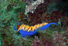Spanish Shawl Nudibranch on a California reef. Spanish Shawl Nudibranch on a reef off of central California's Channel Islands Royalty Free Stock Photo