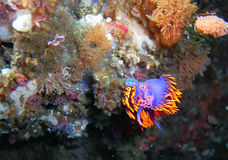 Spanish Shawl Nudibranch laying pink eggs. Was found off of central California's Channel Islands royalty free stock image