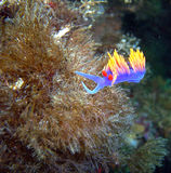 Spanish Shawl Nudibranch swaying in the current. Spanish Shawl Nudibranch found off of central California's Channel Islands stock photos