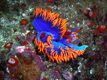 Spanish Shawl nudibranchs mating. Mating Spanish Shawl nudibranchs found off of central California's Channel Islands Stock Image