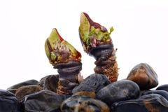 Spanish shellfish percebes close up stock image