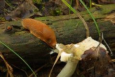Spanish slug 01 Stock Images