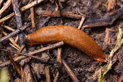 Spanish slug - Arion vulgaris Royalty Free Stock Image