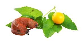 Spanish slug Arion vulgaris on a white background Stock Image