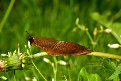 Spanish slug invasion in garden. Spanish slug (Arion vulgaris) invasion in garden. Invasive slug. Garden problem. Europe Royalty Free Stock Image