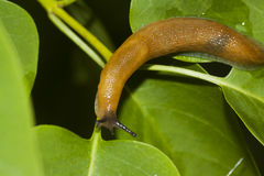 Spanish slug Stock Photography