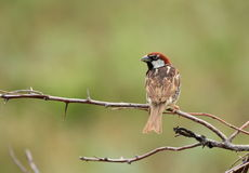 Spanish sparrow Stock Photography
