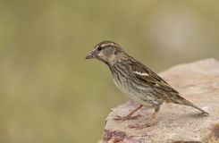 Spanish Sparrow. Perching on the rock piece Stock Image