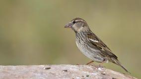 Spanish Sparrow Stock Photography