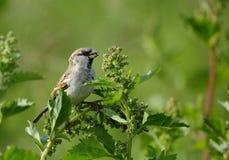 Spanish Sparrow Royalty Free Stock Photos