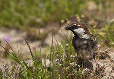 Spanish Sparrow Looking Left (Passer hispaniolensi. A spanish sparrow is looking left royalty free stock image