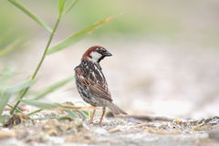 Spanish Sparrow. Stock Photography