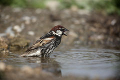 Spanish sparrow, Passer hispaniolensis Royalty Free Stock Images