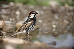 Spanish sparrow, Passer hispaniolensis Royalty Free Stock Photo