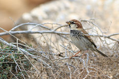 Spanish sparrow Passer hispaniolensis Royalty Free Stock Image
