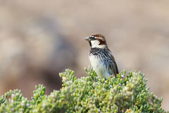 Spanish sparrow (Passer hispaniolensis) Royalty Free Stock Photos