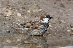 Spanish sparrow, Passer hispaniolensis, single male Stock Photography