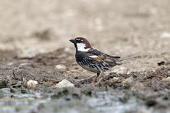 Spanish sparrow, Passer hispaniolensis, single male Stock Photo