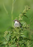 Spanish Sparrow perched on green Stock Photos