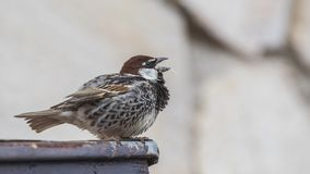 Free Spanish Sparrow Singing Stock Image - 148611681