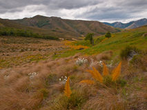 Spanish speargrass. And mountaindaisy in subalpine tussockland Stock Photography