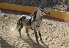 Spanish stallion Royalty Free Stock Photo