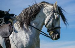 Spanish stallion with tack. A white Spanish stallion with tack against blue sky royalty free stock photo