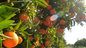 A spanish tangerines grove. Tangerines tree with many fruits in a blue sky with sunshine. Organic fruits in garden